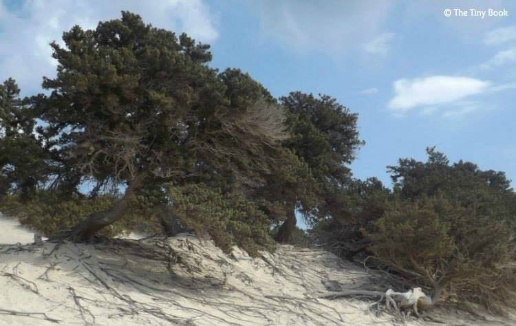 Crete, Chrisi Island - A unique variety of cypress trees on the sand