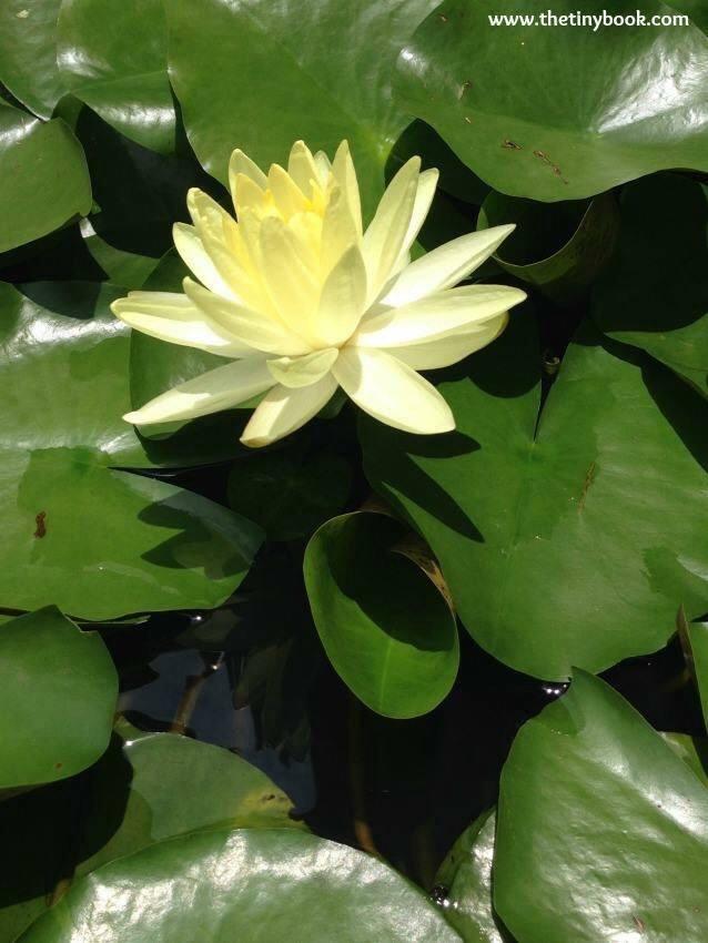 Lotus Flower, Wat Pho. Bangkok.