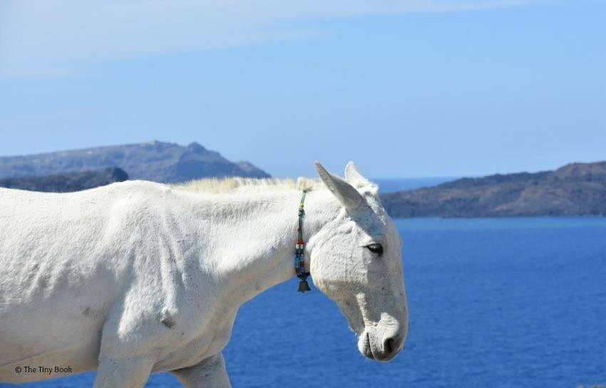 Donkeys, a usual view in Santorini. Santorini dreamy photo destination.