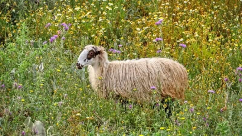 Sheep in Crete