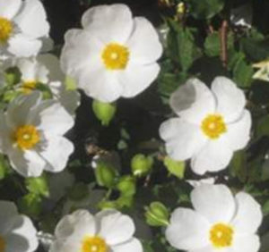 Rock Rose (White).