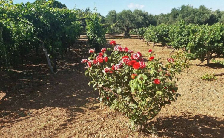 Roses are used in the vineyard to keep an eye on the health of the vines.