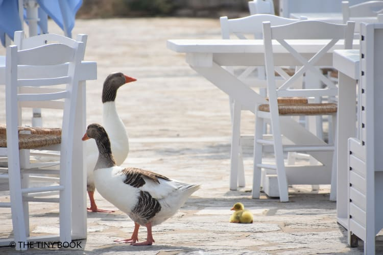 Duck in Naoussa, Paros Greece
