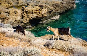 Goat by the sea, Crete