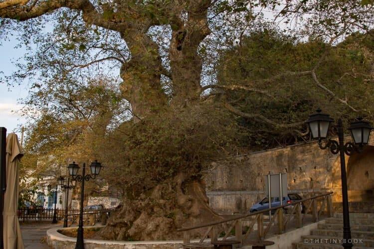 Monumental plane tree in Krasi, Crete.,