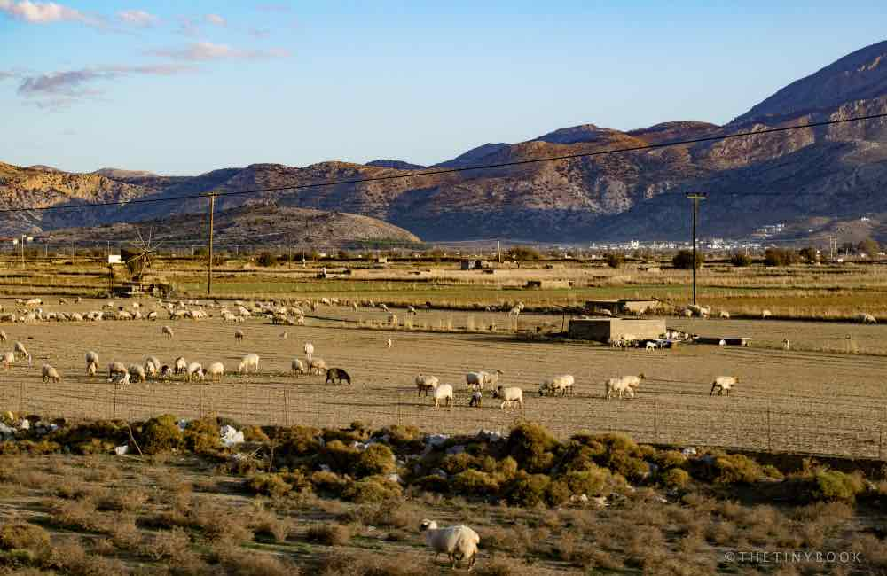 field, mountains, sheep, Crete