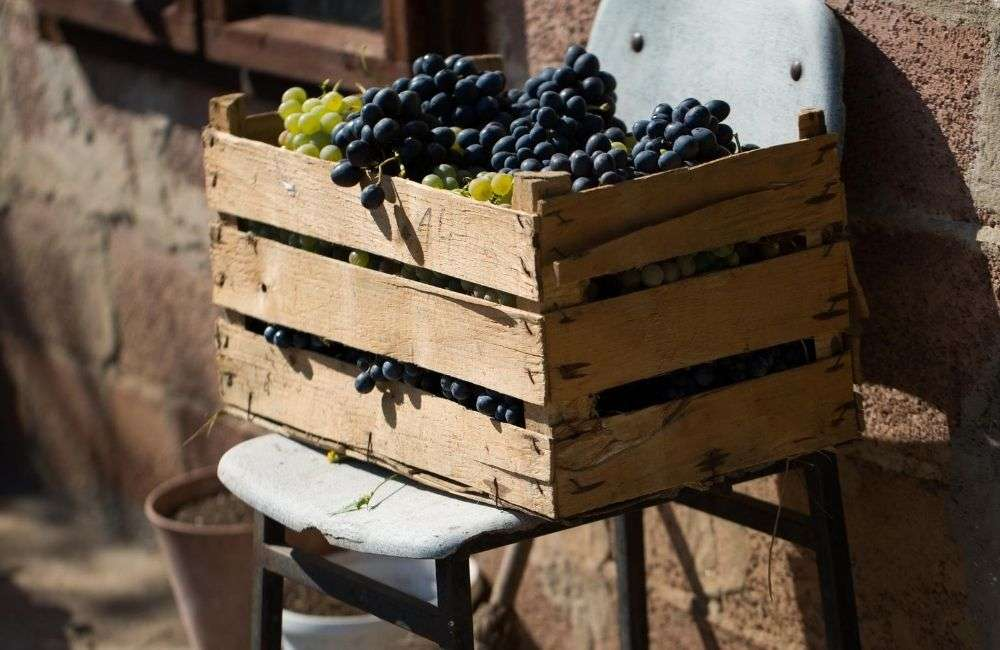 GREECE - CRETE - GRAPE HARVEST- CRETE IN SEPTEMBER