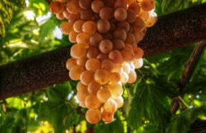 GREECE - CRETE - GRAPES - VILANA